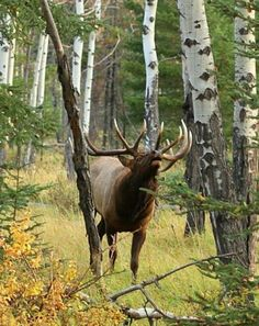 N/A Elk Pictures, Hunting Pictures, Great Pictures, Animal Pictures, Hunting Shop, Moose Hunting, Hunting Stuff, Bull Elk, Call Of The Wild
