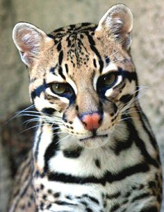 My brother had one of these a long time ago.  Beautiful animals, but definitely not pets.  Ocelot