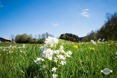 Frühlingswiese - Eine Frühlingswiese im Bayerischen Wald. A spring meadow in the Bavarian forest.