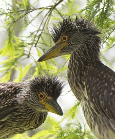 yellow crowned night heron chick | Flickr - Photo Sharing!