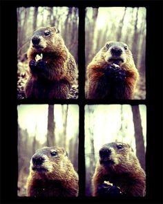 Items similar to Animal Photography - Marmot Posing - Wildlife Print - Groundhog Day - Nature Wall Art - Funny Animal on Etsy