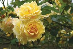 'CI Gold Badge' A repeat blooming climbing floribunda, this is one of the finest yellow climbers.