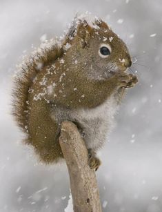 Little Squirrel in Winter on an Old Country Post Having a Small Snack. Like Animals, Animals Of The World, Animals And Pets, Baby Animals, Cute Squirrel, Squirrels, Beautiful Creatures, Animals Beautiful, Animal Pictures