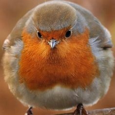 Rotkehlchen - Robin