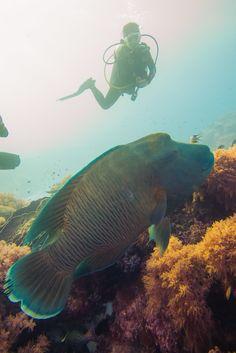Napoleon Wrasse Tubbataha Reef