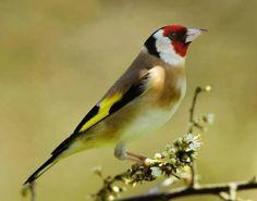 Spring Goldfinch by Mike Turtle Bird Aviary, Bird Perch, Pretty Birds, Beautiful Birds, Siskin, Kinds Of Birds, Goldfinch, Birds Of Prey, Bird Feathers