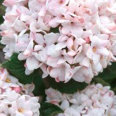 Viorne plicatum summer dresses