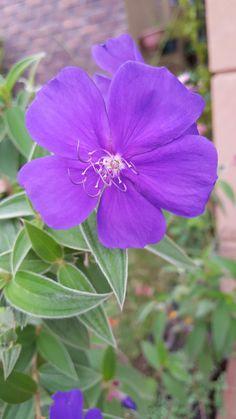 Bella flor de Nazareno j=v
