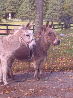 A pair of minature donkeys!  Roseview Dressage, Millbrook, NY  http://pinterest.com/RosevieDressage/