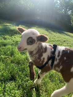 Baby lamb I met today Cute Baby Cow, Baby Cows, Cute Cows, Cute Babies, Baby Farm Animals, Baby Sheep, Pretty Animals, Cute Little Animals, Cute Funny Animals