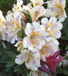 Alstromeria_Hybrid_cream. Peruvian Lily