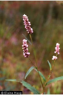 Polygonum pensylvanicum - smartweed - I know everyone thinks of it as a weed but I've always found it lovely especially in the fall.