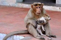 10-26-16-rhesus-monkey-adopts-orphaned-street-puppy1