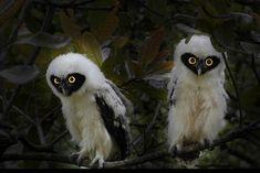 Spectacled Owls (Pulsatrix perspicillata) juveniles. Photo by Nunes D'Acosta.