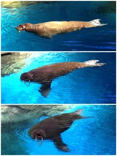 海象 Ocean Park, Animals, Animales, Animaux, Animal, Animais