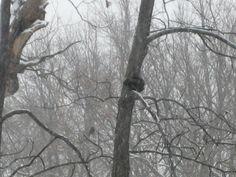 Black squirrel by BJS