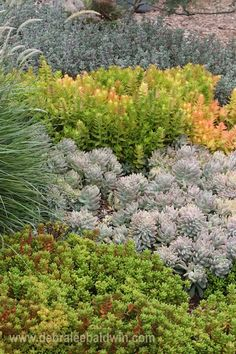 Graptopetalums may form crested growth—rosettes that form tight clusters (above). This vignette of low-growing drifts of succulents is at Waterwise Botanicals nursery in Escondido, CA. Top to bottom: ice plant (lampranthus), Crassula 'Campfire', crested Graptopetalum paraguayense and Sedum rubrotinctum 'Pork and Beans'.