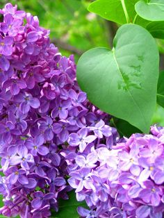 These make me remember my childhood! Lilacs; they smell Soooo good!