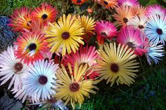 Livingstone Daisies (mesembryanthemums)/ Daisies ATTRACT: Monarch Butterflies.
