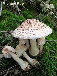 Amanita rubescens var. alba Amanita Rubescens, Mushroom Fungi, Stuffed Mushrooms, Vegetables, Pretty, Flowers, Arrows, Fungi, Plants