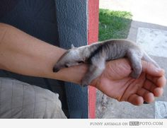 Baby anteater.