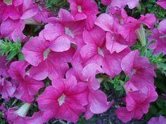 LA PETUNIA: Petunia x hybrida. La Petunia (Petunia x hybrida) es una planta herbácea anual, obtenida de la hibridación de las especies  Petunia integrifolia y de Petunia axillaris