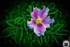 Art Print: Wildflower in Kansas in Creative Vivid Color, KS flower, purple flower, green leaves, bitten flower petals, wild flower, USA by OLD81STUDIOS on Etsy https://www.etsy.com/listing/166700406/art-print-wildflower-in-kansas-in