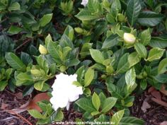 Gardenia augusta 'Florida' full sun/part shade, slightly acidic soil, likes soil enriched with manure, Also Gardenia augusta 'Radicans' is a bit smaller. Small Shrubs, Landscape Photos, Landscaping, Florida, Gardens, Cottage, Sun, Plants, The Florida