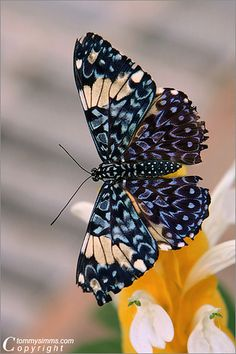 ~~Butterfly by Tommy Simms~~.So many beautiful butterflies around the world. Wow looks like lots of beautiful blackberries ,blueberries and splah of golden rivers design. Thats what I tell about this beauty .