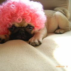 Pug in a wig