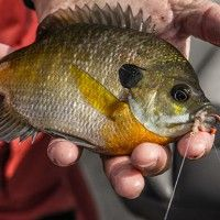 A bobber, a hook, a split shot and a worm. It's how many of anglers get their start in fishing. Fishing for panfish like bluegills, red ear sunfish, perch, and even crappie is enjoyable and plentiful, at least it is for most folks that pursue them in the spring. But folks...