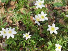 Cassie Liversidge- Wood anemone