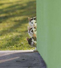 Curiosidade felina, rsrsrsrs.