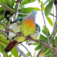 paloma multicolor con sus polluelos