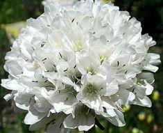 Trávnička pseudoarmeria ´Ballerina White´  Polštářovitě se rozrůstající skalnička. Rostlina dorůstá do výšky cca 25 cm. Bohatě kvete bílými květy. Květy se objevují od června do srpna. Listy tvoří růžice, jsou úzké, trávovité. Má ráda kamenité, písčité půdy, je nenáročná, vyžaduje slunné stanoviště. Vhodná do skalek, může být použita i jako náhrada trávníku nebo na okraje trvalkových záhonů. Je citlivá na přemokření.  ↔️ 30-40 cm  39,- Kč