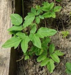 Bršlice kozí noha – jedlý plevel s neodolatelným aroma
