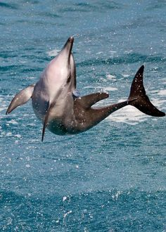 Spinner dolphin with remora