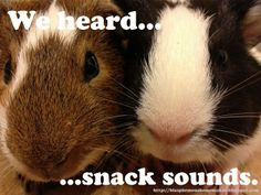 A close up of our new baby guinea pigs, Cinnamon and Lemonade.