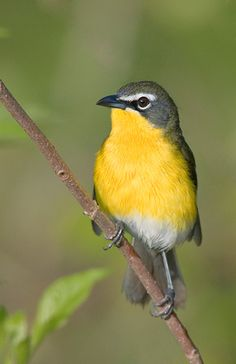 The Yellow-breasted Chat (Icteria virens) is a large songbird, formerly considered the most atypical member of the New World warbler family. Found throughout North America, from southern-plains of Canada to central Mexico during the summer, these birds mainly migrate to Mexico and Central America, although some of their number may overwinter in coastal areas. This species occurs in areas with dense shrubby growth is common.