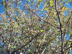 Whitebeam's turning leaves and berries, Oct 2.