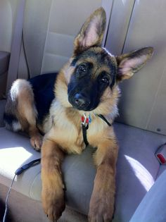 All time faves! | A community of German Shepherd lovers!