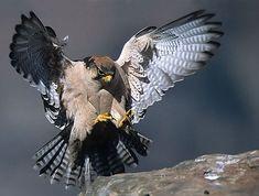 Falco biarmicus (Lanner falcon)                  Edelvalk