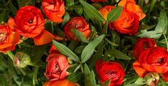 Kalenderwoche 10 kurzstielig: bunte Ranunkel Ranunculus asiaticus mit Pistazie Pistacia vera für Tischvase