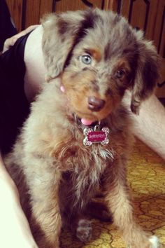 AussieDoodle. I want one or five