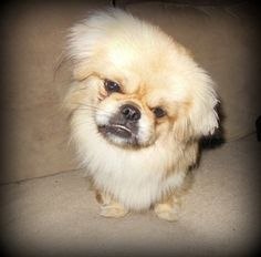 Don't let the face fool you! Noah is a sweet little Tibetan Spaniel looking for a forever home in Bondsville, MA!