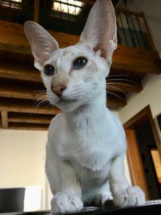 Oriental Cat, Cats, Animals, Gatos, Animales, Animaux, Animal, Cat, Animais