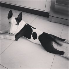Bull terrier looks like a cow so cute, makes me wonder if a cow and a pig had children you would get one of these