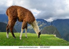 Lama grazing at the ruins of Machu Picchu - stock photo