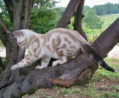 Southlynn Bengals | Bengal Cats Bengals Illustrated Directory