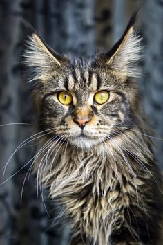 Fabulous Maine Coon…..